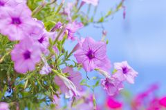 Petunia purple on a bouquet of blurred backgrounds. Petunia purple on a bouquet of blurred backgrounds royalty free stock photo