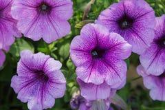 Petunia Purple Royalty Free Stock Images