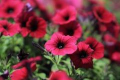 Petunia. The  red  petunia Stock Image
