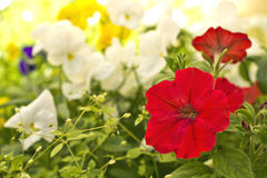Petunia. Red petunia in a city park Royalty Free Stock Photo