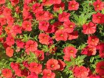 Petunia roja foto de archivo