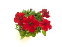 Petunia roja brillante en floraciones en la opinión superior del primer del pote Foto de archivo