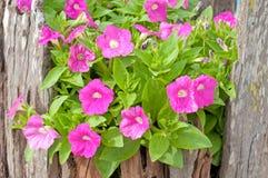 Petunia rosa Immagini Stock