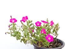 Petunia rosada Foto de archivo libre de regalías