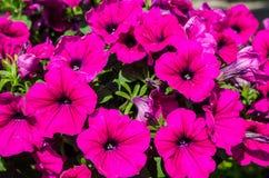 Petunia rosada Imagenes de archivo