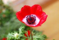 Petunia rosada aislada Foto de archivo libre de regalías
