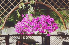 Petunia rosada decorativa de las flores imagen de archivo libre de regalías