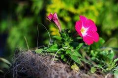 Petunia rosada en el jard?n imagenes de archivo