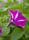 Petunia rosada y blanca fotografía de archivo libre de regalías