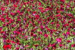 Petunia rossa Immagini Stock