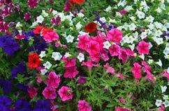 Petunia rossa, blu e porpora con i fiori bianchi del convolvolo Immagine Stock Libera da Diritti