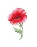 Petunia rossa dell'acquerello su fondo bianco Fotografie Stock