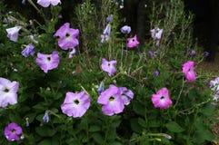 Petunia & rozmaryny Zdjęcie Stock