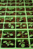 Petunia seedlings in the cell tray (copy space). Petunia seedlings in the cell tray (selective focus Royalty Free Stock Images