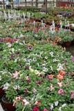 petunia Sistemi con i fiori dell'estate e della primavera in vasi d'attaccatura in una serra Petunie colorate in vasi Modello flo Fotografia Stock Libera da Diritti