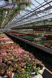 petunia Sistemi con i fiori dell'estate e della primavera in vasi d'attaccatura in una serra Petunie colorate in vasi Modello flo Immagine Stock Libera da Diritti