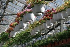 petunia Sistemi con i fiori dell'estate e della primavera in vasi d'attaccatura in una serra Petunie colorate in vasi Modello flo Immagini Stock