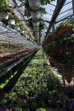 petunia Sistemi con i fiori dell'estate e della primavera in vasi d'attaccatura in una serra Petunie colorate in vasi Modello flo Fotografia Stock