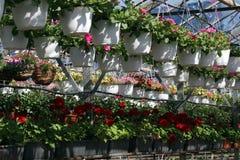 petunia Sistemi con i fiori dell'estate e della primavera in vasi d'attaccatura in una serra Petunie colorate in vasi Modello flo Immagini Stock Libere da Diritti