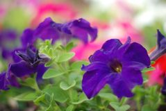 Petunia. Small purple flower royalty free stock images
