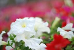 Petunia. Small white flower royalty free stock photography