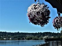 Petunia spheres over Puget Sound Royalty Free Stock Photos