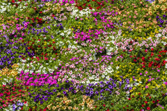 Bed of colourful flowers  Royalty Free Stock Images