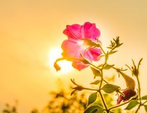 Petunia during sunset Royalty Free Stock Photography
