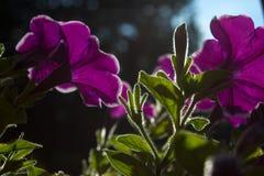 The petunia in the sunshine Stock Image