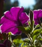 The petunia in the sunshine Stock Photos
