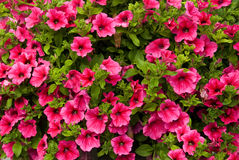Petunia Surfina Stock Photo