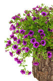 Petunia, Surfinia flowers on tree trunk over white Stock Photos