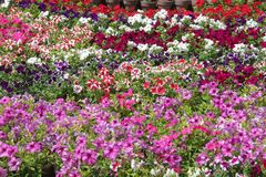 PETUNIA `TOTAL MADNESS MIX`.  Royalty Free Stock Images