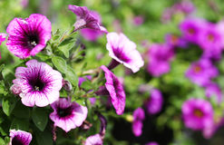 Petunia Trailing. Purple Flowers in the Garden Royalty Free Stock Image