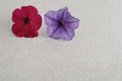 Petunia twee Royalty-vrije Stock Afbeelding