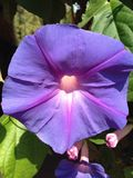 Petunia. Up close of beautiful campus flowers stock photo