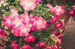 Petunia of van Petuniahybrida Vilm wijnoogst Stock Afbeeldingen