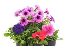 Petunia variopinta nel vaso immagini stock