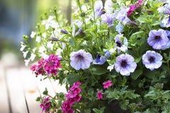 Petunia and Verbena Basket Royalty Free Stock Photos