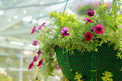 Petunia Royalty Free Stock Image