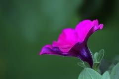 Petunia viola Immagini Stock