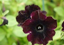 Petunia violeta Imagen de archivo libre de regalías