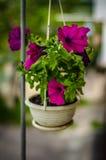 Petunia violeta en una maceta Imagen de archivo