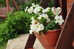 Petunia w ogródzie obraz stock