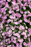 Petunia wall Royalty Free Stock Photography