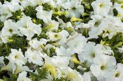 Petunia white flowers Stock Image