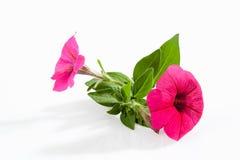 Petunia on white Stock Photos
