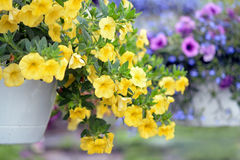 Petunia. Yellow petunia flowers in the garden for background uses Royalty Free Stock Photography