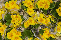 Petunia yellow Royalty Free Stock Photo
