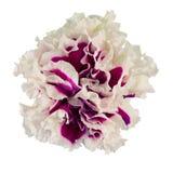 Petuniabloem stock afbeeldingen